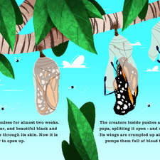 Life Cycles Butterfly   Interior Page   7 8 Colour