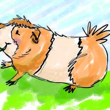 William the Guinea Pig