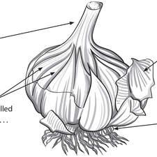 Garlic bulb diagram for textbook worksheet