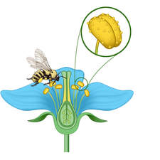 pollination of flowers