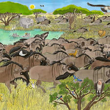 The Wildebeests run across the Savanna.