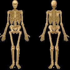 Skeleton of a human