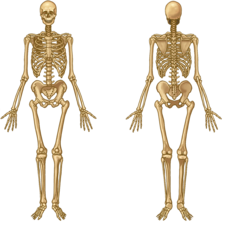 Skeleton of a human