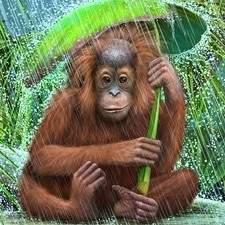 Orangutan Baby In The Rain